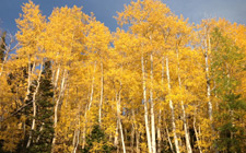 Local aspen trees at there peak